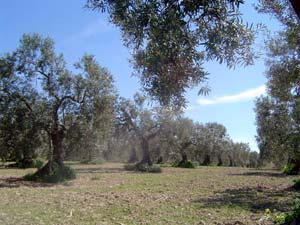 An olive grove in Andalucia, Spain